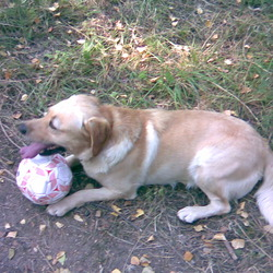 Lost dog on 08 Sep 2009 in Sandymount. Golden Labrador, 5 years old, microchipped, brown collar