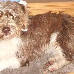Reunited dog 22 Oct 2009 in Corofin, Co Galway. Brown and White Terrier cross breed. Lost between Tuam and Corofin. Family pet and is missed. - Thanks to the lady that found him and dropped hiim to the local vet.