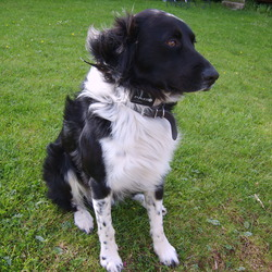 Lost dog on 25 Jul 2009 in Wexford. LOST - REWARD Black and white collie/springer cross, black body and head, white legs and neck with spots, friendly energetic, much missed by family.