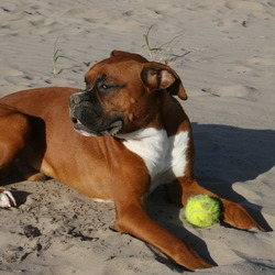 Lost dog on 21 Oct 2009 in Killarney, Co Kerry. A male brown boxer dog missing in Killarney, Torc mountain car park old Kenmare road area. Answers to Hector. Much loved family pet. Micro chipped, reward offered. Contact 087 6316711 or 086 2802019.