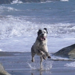 Lost dog on 12 Nov 2009 in Dublin. English setter , black & White. Mirco chipped.Wearing a black collar but no tag.Went missing on killney Beach ,Dublin 12.11.09 Very friendly Please phone 012804172
