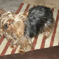Lost dog on 22 Oct 2009 in co louth. our lovely yorkshire terrier has been missing in co louth since 22nd oct 09. she is really small, black & brown ... her name is skylah, we really want her home so please if anyone has seen her contact me on 0863990213