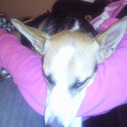 Found dog on 17 Nov 2009 in Blanchardstown, Dublin 15. Medium sized female terrier cross, found in Blanchardstown, near shopping centre. She is black, brown and white. Approx 1yr old