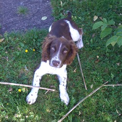 Lost dog on 18 Nov 2009 in Parkmore, castleinch kilkenny. 6 month old white n brown springer spanial dog called Bobby went missing in Kilkenny parkmore near the car boot sale 18th nov. Friendly very well cared for and loved. Reward if found 0867957146
