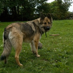 Lost dog on 20 Nov 2009 in Dyke Road/Terryland, Galway. Missing since 20/11/09 large Alsatian type dog, sandy coloured , lost in the Terryland/Dyke Road area of Galway city. He is a 18mth old neutered male. He is very friendly and is wearing a collar. He is much loved and sadly missed Contact: 086 1540342
