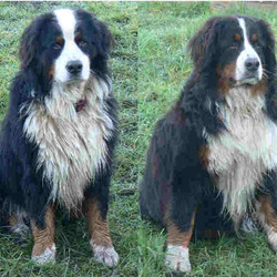 Reunited dog 25 Mar 2009 in Tralee, Co. Kerry.. 2 Bernese Mountain dogs, male and female. Black with white chest and blaze and tan markings.  both 3 years old. Male intact. Female neutered. Both microchipped