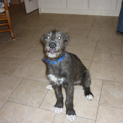 Reunited dog 01 Dec 2009 in  Collon. Co.Louth. He came home....so happy.4 month old, male irish wolfhound, Went missing 1st of december.Chipped.Four white paws.Answers to Con.Dalys cross Collon, Co.louth, Reward given... 0879804056