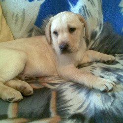 Lost dog on 27 Mar 2009 in Charlestown, Finglas, Dublin. 23/03/2009 STOLEN GOLDEN 4MONTHS LABRADOR LUCKY (MALE) CHARLESTOWN FINGLAS, BIG REWARD FOR INFO