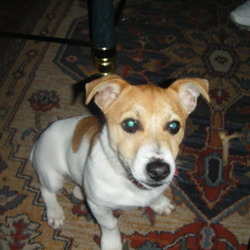 Lost dog on 30 Nov 0009 in tipperary. jack russel MALE . about a year old. brown and white in colour. with two big brown spots and one small spot on his back and brown head. very friendly dog and goes by the name tayto. family dog and missed loads.went takin from donohill area tipperary. please call 0872989037. reward givin if found.