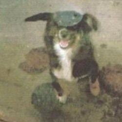Lost dog on 05 Dec 2009 in rathfeigh co.meath. missing since sat 5th of dec around the rathfeigh area in co.meath,her name is poppy.very lovable dog.and really really missed.please phone aoife on... 0851446239.reward giving to.