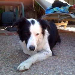 Lost dog on 01 Jan 2010 in Dublin, CA 94568. Female Border Collie ran away due to fireworks on New Years Eve. She didn't have her collar on but has a microchip between her shoulder blades. Last seen running on Donohue Drive in Dublin around 12:00 AM. She has a very distinctive black spot between her ears. Please contact with any information.