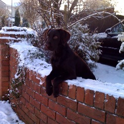 Lost dog on 04 Jan 2010 in Kiltimagh Mayo. 5 months chocolate labrador called Leo. Missing in Kiltimagh town, Mayo since 8pm on 4th January 2010. No collar.  Sick and requires medication. Chip No 968 000005285786. Phone 0876228001.  Reward for return