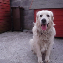 Found dog on 31 Mar 2009 in Carlow . Golden Retriever found in Co Carlow on Tuesday 31st March. If you think this is your dog please contact me urgently. I cannot keep him in my own house as he is not getting on with my own dog. Ph 0876649084