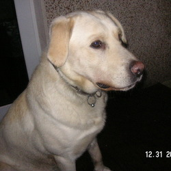 Lost dog on 03 Apr 2009 in blarney. Missing (could be stolen) golden Labrador, 3 years old male family pet.