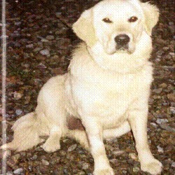 Reunited dog 05 Apr 2009 in Ballygarvan /  5 Mile Bridge. Missing Golden Retriever 6 year old Female missing  Since Sunday April 05th from Ballygarvan Area/ 5 mile bridge,Wearing brown Collar Name Allie. Loved pet Reward Given please call 0879573563 / 0872483617