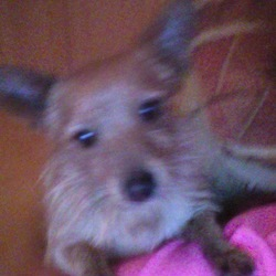 Lost dog on 23 Jan 0010 in clover hill rd. small gingery brown dog answers to the name ralph lost on clover hill road ballyfermot dublin on the 23d of jan 2010 very friendly 2 years old please keep look out.