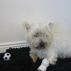Reunited dog 10 Apr 2009 in Tallaght. West highland terrier found        in the centre of Tallaght. For further info pls contact me (Kasia) on 0857301201