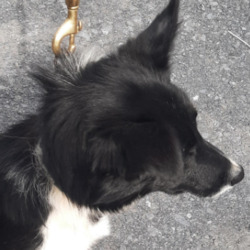 Dog looking for home 02 Sep 2021 in dublin. surrender , contact the dublin dog pound...Date Found: 01/09/2021