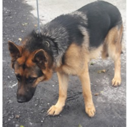 Dog looking for home 03 Apr 2018 in dublin...//.. surrendered , now in the dublin dog pound...needs a home...Surrendered Date: 27/03/2018