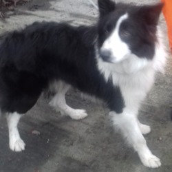 Dog looking for home 04 Jan 2019 in pound. surrendered needs a home, contact dublin dog pound..Date Found: 03/01/2019