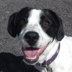 Dog looking for home 04 Sep 2018 in meath_pound..... found...Ref 208, daisy is an 8 month old springer/jrt x, Surrendered today because her owner didn't have the time to fulfil her needs, has lived with children, is good with dogs but not cats