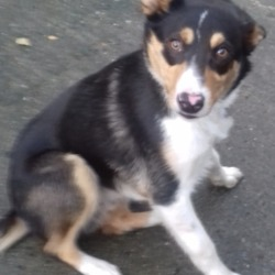 Dog looking for home 05 Dec 2018 in dublin..x... surrendered needs a home, contact dublin dog pound...03/12/2018