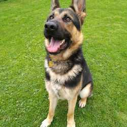 Dog looking for home 06 Oct 2017 in meath pound. surrendered Max 1yr old Gsd surrendered to Meath pound today...ref 288...contact Meath pound on 087 0676766.. thanks