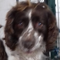 Dog looking for home 09 Jan 2019 in meath pound.... surrender...Meath Dog Shelter