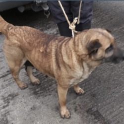 Dog looking for home 10 Jan 2020 in dublin....... surrender needs a home,...Date Found: