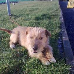 Dog looking for home 11 Apr 2010 in Athenry, Galway. young terrier type of dog found a month ago in tuam co.galway but I can't keep him as I have very little time and he needs to be house trained, very friendly and good with children but bit too lively if they are still small