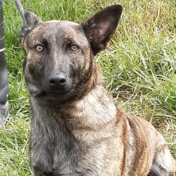 Dog looking for home 11 Aug 2021 in dublin. surrender... Luna  South Dublin County Council    Luna is a Belgian Shepherd Cross and came to   us a surrender  from Rathcoole.  She is roughly 1  year  old.   She  is a lovely outgoing, friendly dog. She can be   viewed for rehoming be  from  02/8/21/7/21 by  appointment only.  (GONE TO RESCUE)