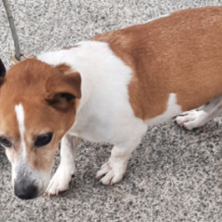 Dog looking for home 12 Oct 2021 in dublin....... surrender, needs a home, contact midlands hollygrove dog pound...Date Found: 11/10/2021