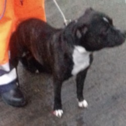Dog looking for home 13 Dec 2018 in dublin.... surrendered, contact dublin dog pound...11/12/2018