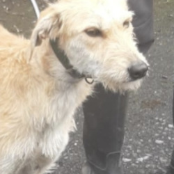 Dog looking for home 13 Jul 2021 in dublin...  now in the dublin dog pound..Date Found: 11/07/2021    Honey  South Dublin County Council   Honey is a Female Lurcher and came to us a     stray from Tallaght.  She is roughly 3/4 years old.     She is a quiet and timid  dog. She is not   microchipped We are currently looking for her   owner, if not reclaimed  can be viewed from   18/7/21 by appointment only.