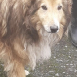 Found dog on 13 Jul 2021 in dublin.......  now in the dublin dog pound...Date Found: 11/07/2021   Shep    South Dublin County Council    Shep  is a male Rough Collie and came to us a     stray from Tallaght.  He is roughly 7 years maybe   older. He  is a quiet dog and is good on the lead.   He is not microchipped . We are  currently   looking  for his owner, if not reclaimed   can be   viewed from 18/7/21 by appointment only.