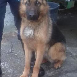 Dog looking for home 14 Feb 2018 in dublin.... surrendered needs a home, contact dublin dog pound... Surrendered Date: Monday, February 12, 2018