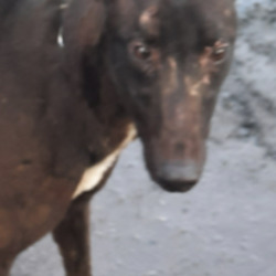 Dog looking for home 16 Feb 2021 in dublin. surrender, contact dublin dog pound..Date Found: 15/02/2021 Location Found: