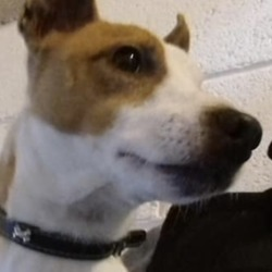 Dog looking for home 16 Jan 2019 in Meath Dog Shelter.... Meath Dog Shelter 5 hrs ·  Loki is looking for a new home, he's a 4 year old jrt, very active chap and will need an active home, he's chipped and neutered but not house trained, has lived with children 8+, wasn't getting on with the dog in his former home so may need to be an only dog, contact the page or call 0870973911 if you can help