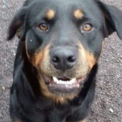Dog looking for home 16 Nov 2018 in meath.... surrendered needs a home...Meath Dog Shelter