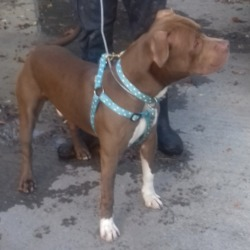 Dog looking for home 16 Oct 2018 in dublin .x. surrender now in the dublin dog pound...Date Found: 15/10/2018