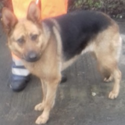 Dog looking for home 18 Feb 2019 in dublin../. surrender needs a home, contact dublin dog pound...Date Found: