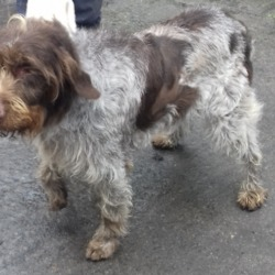 Dog looking for home 18 Jun 2019 in Springfield Tallaght. surrender contact dublin dog pound..Date Found: