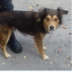 Dog looking for home 18 Sep 2018 in dublin. surrendered needs a home, contact dublin dog pound..Date Found: 13/09/2018 Location Found
