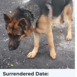 Dog looking for home 20 Apr 2018 in dublin. surrendered needs a home, contact dublin dog pound...Surrendered Date: