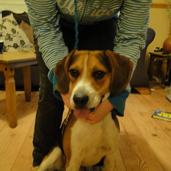 Dog looking for home 20 Sep 2010 in Drimnagh, D12. Dog found today in Brickfield Park, Drimnagh. Beagle male in very good condition. Very friendly with people and other dogs as well as cats. Is microchiped but the chip is not regidtered. Please contact me on 086-3018796
