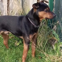 Dog looking for home 23 Nov 2018 in meath./.. needs a home... REF 300 SURRENDER (worrying sheep ) Finn is 18 months old. He is good on lead. Good around cats & dogs. House trained. Outside during day & inside at night.  Finn is available for adoption please call into us or .  phone 0870973911 10am2.30pm Mon-Sat