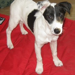 Dog looking for home 23 Oct 2010 in Dublin. 7 month Border Jack free to good home. she very fiendly towards people and other dogs. she needs a new home urgently.  tele 0863085177