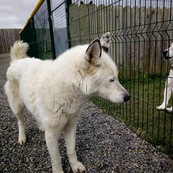 Dog looking for home 26 Feb 2018 in meath...pound. surrendered need a home..Ref 41 Freya, 11 year old male husky, surrendered to the pound, this boy is looking for a nice retirement home, if you can help contact the pound on 0870973911