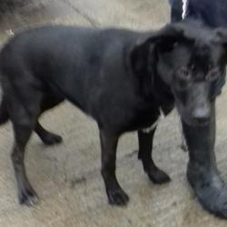 Dog looking for home 27 Feb 2018 in dublin_pound..... surrendered needs a home , contact dublin dog pound.. Surrendered Date: Monday, February 26, 2018