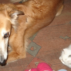Lost dog on 23 Mar 2010 in Burncourt, Cahr. Saluki/greyhoundX. Female and neutered. Maggie is approx 5years old. She is not micro-chipped. She is a dear pet who came to us as a rescue dog in a sad state. We are sure Maggie has been stolen, she was wearing a brown collar with tag, phone number etc. If you know of her whereabouts please ring on 0527467868. Mobile 0872679754 Your efforts will be well rewarded.